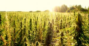 hemp farm - cbd oil